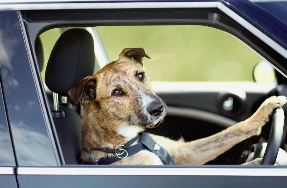 Собака шоферяка (7 фото)